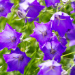 Close-up of a beautiful blue flowers — Stock Photo