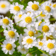 Small sunny chamomile flowers close-up — Stock Photo