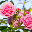 Beautiful pink roses blooming in a garden — Stock Photo