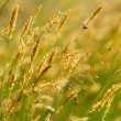 Wild yellow meadow wheat grass — Stock Photo