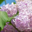 Stock Photo: Blooming lilac tree branch