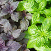 Fresh green basil leaves close-up — Stock Photo