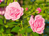 Beautiful wild pink roses close-up — Stock Photo