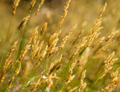 Wild meadow wheat grass — Stock Photo