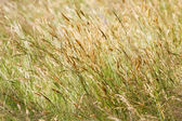 Wild yellow meadow grass — Stock Photo