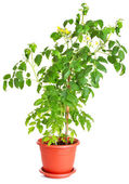 Tomato plant growing in a flower pot isolated on white — Stock Photo
