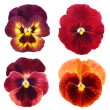 Set of red  pansy on white background — Foto Stock