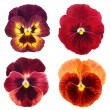 Set of red  pansy on white background - Foto Stock
