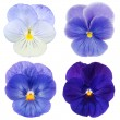 Set of blue pansy on white background - Foto Stock