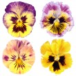 Set of yellow pansy on white background - Foto Stock