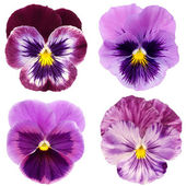 Set of purple pansy on white background — Foto Stock