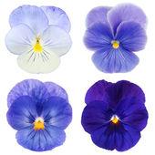 Conjunto da pansy azul sobre fundo branco — Foto Stock