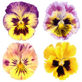 Set of yellow pansy on white background — Foto Stock