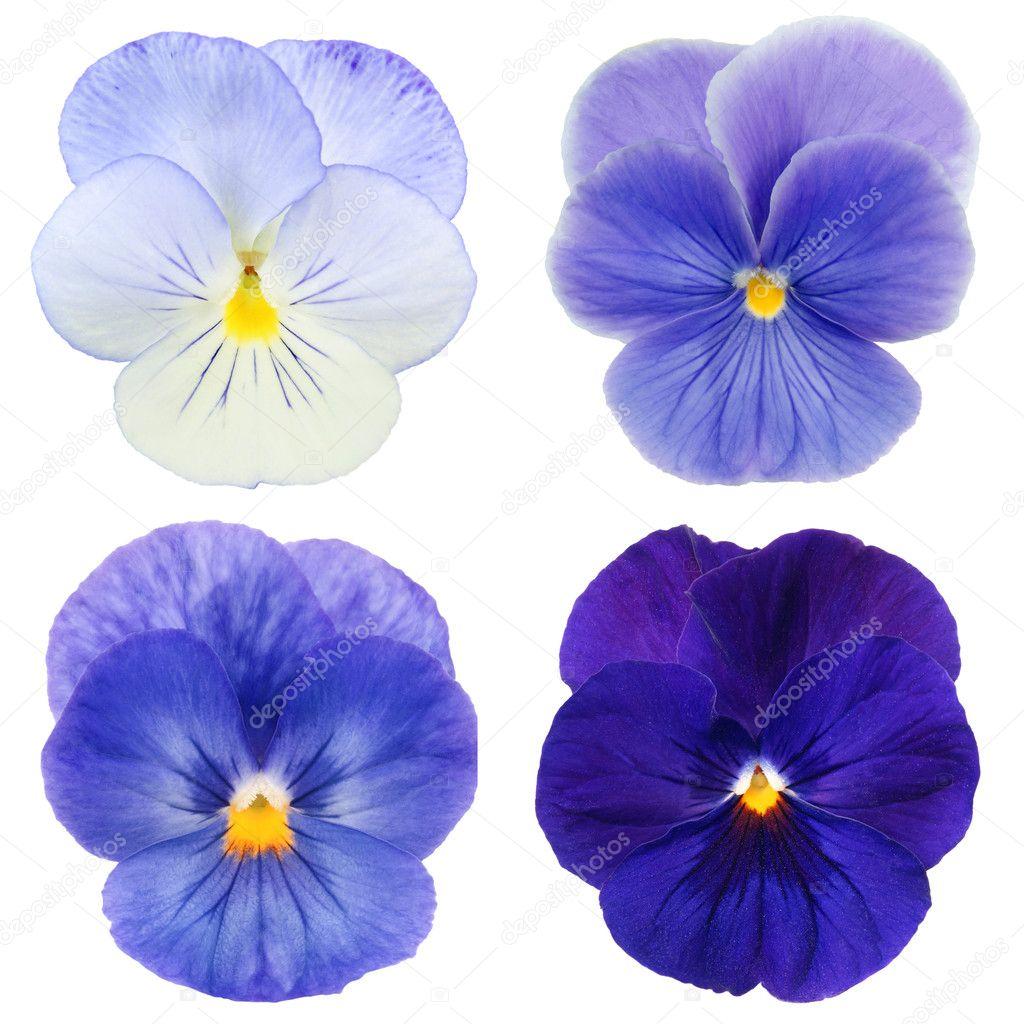 Анютины глазки цветов на белом фоне