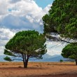 Maritime Pine on a Sardinian beach — Stock Photo