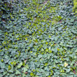 Carpet of ivy — Stock Photo