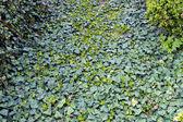 Carpet of ivy — Stock Photo