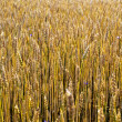 Ripe wheat stalks — Stock Photo