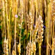 Ripe wheat stalks — Stock Photo #5896549