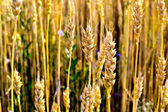 Ripe wheat stalks — Stock Photo