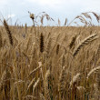 Ripe wheat stalks — Stock Photo #6014972
