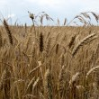 Stock Photo: Ripe wheat stalks