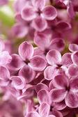 Spring Lilac — 图库照片