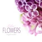 Spring Lilac — Stock Photo #5578746