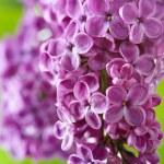 Spring Lilac — Stock Photo #5632249