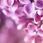 Spring Lilac — Stock Photo #5643069