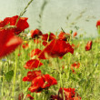 Field with flower of the poppy — Stock Photo