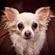 Stock Photo: Funny small dog with big eyes and ears