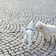 Photo of two white cute dogs outside playing - Stockfoto