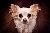 Funny small dog with big eyes and ears — Stock Photo
