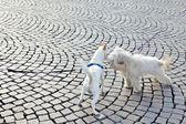 Photo of two white cute dogs outside playing — Stock Photo