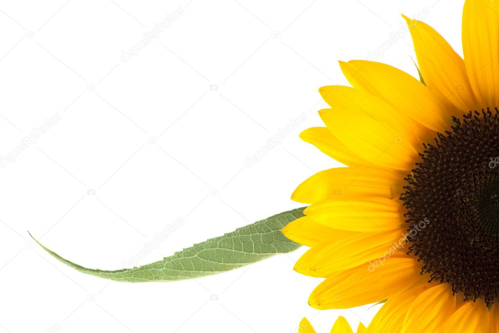 Gorgeous sunflower with green leaves. Isolated over white background — Stock Photo #6128346