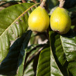 loquat tree — Stock Photo