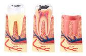 Diş anatomisi — Stok fotoğraf