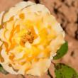 Yellow rose — Stock Photo #5842186