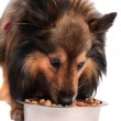 Dog eating out of food bowl — Stock Photo