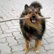 Doggy stick — Stock Photo