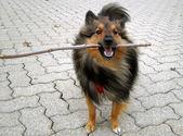 Doggy stick — Stock Photo