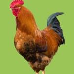Bird cock isolated — Stock Photo