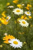 Çiçekler, chamomiles sarı, beyaz — Stok fotoğraf