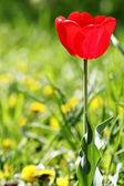 Tulipani fiore rossi — Foto Stock