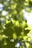 Leaves maple tree wood — Stock Photo
