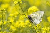 Ailes de papillon insecte — Photo