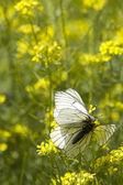 Insectos mariposas amor — Foto de Stock