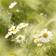 Flowers  chamomiles   white  petals — Stock Photo