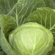Ripe vegetables cabbage — Stock Photo